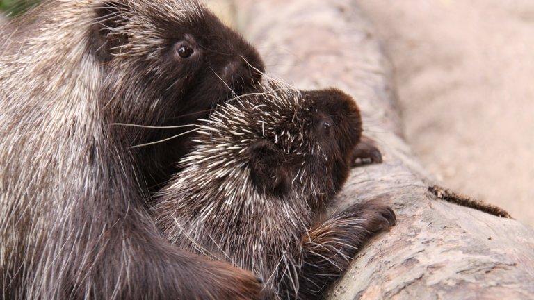 Бодливо прасе Бодливите прасета могат да бъдат доста... придирчиви. Веднъж намерили точния партньор обаче, те формират дългосрочна, моногамна връзка. Всъщност, бодливите прасета са сред малко животни, които правят секс и без размножителна цел. Бащата се включва в отглеждането на малките наравно с майката.