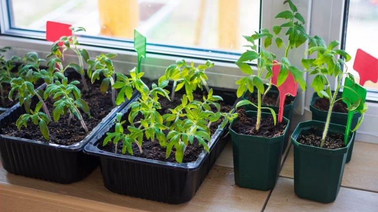 Може да използвате и висящи от тавана саксии - има много предложения на пазара. Окачете ги на дюбели, така че да висят над балконската ограда. Има видове домати, които също са подходящи за това.    За по-големите растения може да приспособите перваза на прозореца, като за целта има и външни, и вътрешни подпрозоречни первази. Вътрешният може да ви е полезен за т. нар. разсад - докато растенията са малки и крехки, а външният - за по-големите и развити растения.