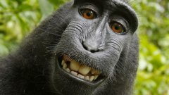 Селфито, което маймуна си направи сама, предизвика правна война в САЩ