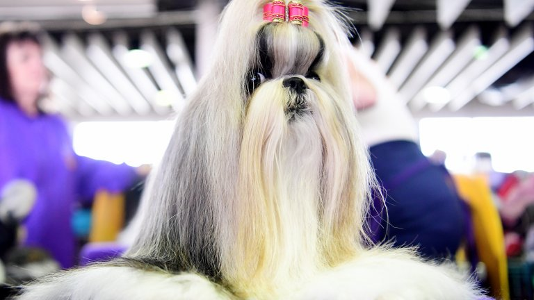 """Ши-тцу На китайски, ши-тцу означава """"лъв"""". И неслучайно. Тези сладки и кипрести кучета са били предназначени единствено за компаньони на китайските кралски особи. Рядко страдат от здравословни проблеми, но имат нужда от специална грижа за козината. Живеят между 10 и 18 години."""
