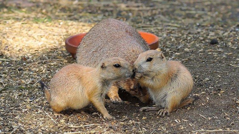 Прерийно куче  Тези големи гризачи, които идват от дивите гори между Канада и Мексико, в естественото си обитание предпочитат да живеятна големи стада и близо до реки. Те обаче са адаптивни, храната им не е трудна за набавяне - треви, корени и др., а освен това си пазят територията, заради който инстинкт биха пазилии дома на стопанина си. Това, че са и много социални ги превръща в идеални домашни любимци.    През 2003 г. тези животнибяха набедени за избухването на епидемията от т.нар. маймунска вариола. Съветът на експертите е, когато се избира прерийно куче за домашен любимец, стопанинът да се увери, че то идва от законен доставчик, че е здраво и че в страната е разрешено отглеждането му вкъщи.