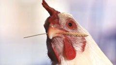 За или против живото пиле в този клип?