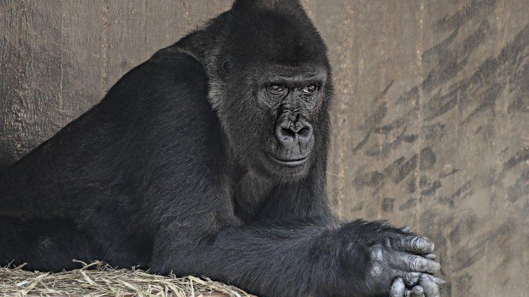 """Горила Един типичен горилски баща обикновено е начело на семейна група, състояща се от 30 горили. Мъжката горила се държи респектирано към горилата, която наскоро е станала майка, оставя я да се нахрани първа и позволява на малките да се присъединят към """"трапезата"""".   Ако надушат опасност за малките, мъжките горили, подобно на лъвовете, стават агресивни и силно протективни, изправят се, крещят и тупат гърдите си, както го правеше Кинг Конг. Бащите-горили прекарват по много време с децата си, докато децата не навлязат в тийнейджърската възраст. Тогава връзката им се разпада, но кой не би искал връзката му с див тийнейджър да се разпадне?"""