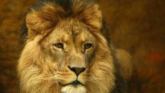 Сред силно застрашените видове вече се нарежда категорично и лъвът, според обновения Червен списък на защитените видове, който се поддържа от Международния съюз за защита на природата