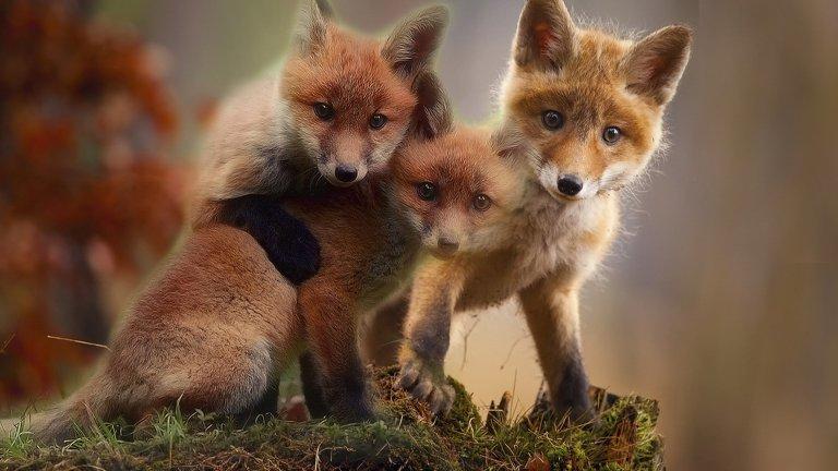 Червена лисица Червените лисици също са сред животинските видове, в които бащите се грижат за малките и играят с тях активно. През първите три месеца от живота на лисичетата, баща им ловува и им носи храна. Станат ли на 3 обаче (месеца, не години), безплатният обяд приключва.   Бащата ги насърчава сами да си хващат храна, но преди това зарива парчета от животни, които е уловил в близост до лисичата дупка, за да може малките да се научат да надушват месото и да го изравят.