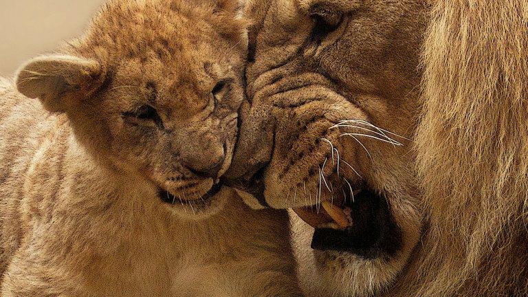 """Лъв """"Цар Лъв"""" не е само филм на Disney. Историята на Симба и Муфаса е и поучителен, дълбок разказ за отношенията баща-син, възпитанието, завета, синовния дълг и ролята на бащата. В реалността нещата не стоят точно по същия начин. Всички знаем, че лъвиците ловуват, докато мъжките лъвове просто са красиви и дремят под слънцето с прекрасните си гриви. Освен това, когато женската донесе някоя антилопа, мъжкият лъв винаги се наяжда първи и чак след това отстъпва месото на лъвицата и малките.   Но лъвовете не са лоши бащи. Когато прайдът е в опасност, мъжкият лъв става изключително протективен и може сам да защити 30 лъвици и сума ти малки лъвчета. Бащинската му интуиция го прави мнителен и лесно усещащ всяка опасност. По-добре да не му се мяркате тогава. Особено ако сте бракониери."""
