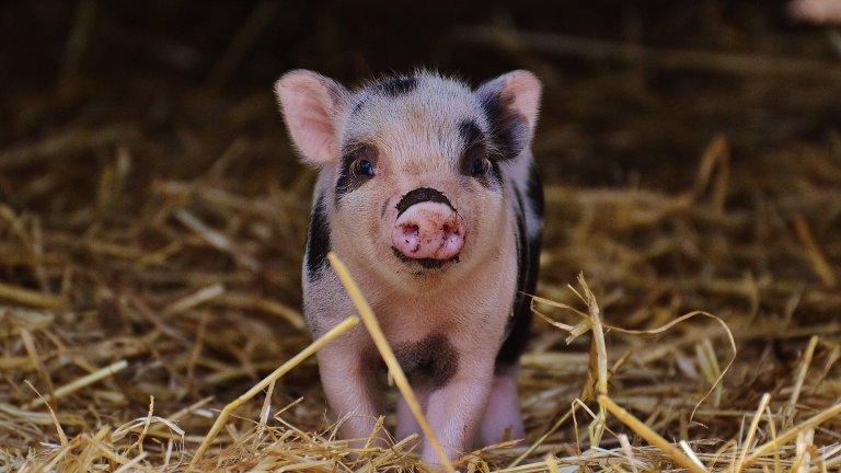 Малко са животните, по-очарователни от мини прасенцето. За първи път у нас се чу, че прасетата могат да бъдат домашни любимци, които да не приключват земния си път по Коледа, покрай Джордж Клуни, който гледаше декоративно прасе преди да се ожени за Амал. Прасенцата са добродушни, привързани, любвеобвилни и чистоплътни любимци. Подобно на кучетата те изискват разходки: може да не са дълги, но е добре да излизат понякога. Често те сами дават сигнал, че искат да излязат с квичене. Мини прасенцата не се нуждаят от къпане, те се почистват сами като котки, след разходка може само да забърсвате копитцата им с кърпа. Консултирайте се с ветеринарен лекар относно диетата на прасето.