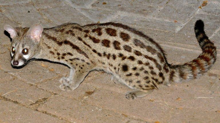 Генети  Това са животни от рода на т. нар. Пълзящи котки - семейство хищни бозайници с дребни и средни размери. Конкретнотози вид се среща предимно на Пиренейския полуострови в Африка. Поради навлизанетона хора все по-навътре в техните местообитания, тези котки постепенно се приспособили към съвместносъжителство и дори към отглеждане вкъщи. Те обаче не искат да си имат другарчета и имат нужда от много голямо пространство.