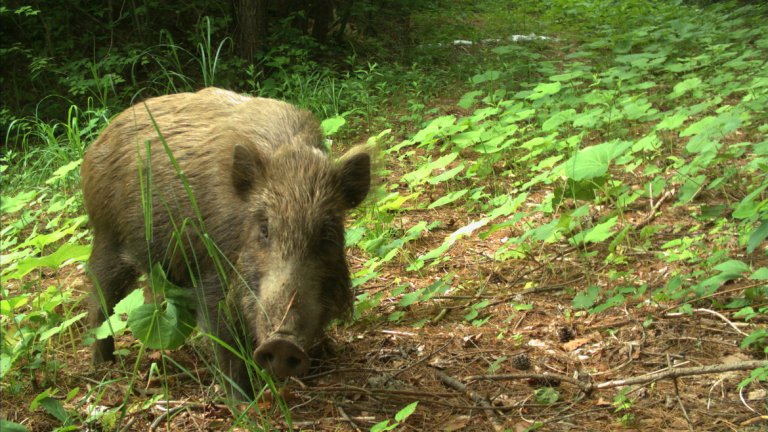 Дива свиня