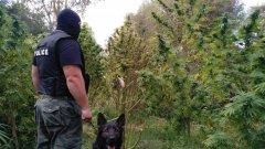 Арестуваха инспектор от БАБХ с плантация от канабис