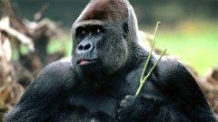 Някои горили се очовечават...