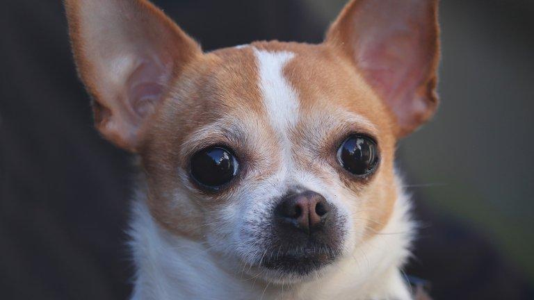 Чихуахуа Тези фини, помпозни кучаци са сред най-дребните кучешки породи. Макар да изглеждат като перфектното куче, на което да лакираш ноктите и което да носиш в клъч, без никога да позволиш краката му да докоснат земята, те са си животни. И то животни с характер. Чихуахуа, от Бевърли Хилс до София и от Китен до езерото Тахо, са палави кучета, които могат да нагризат всевъзможни неща с малките си зъбки: кецове, играчки, кабели, крака на маса, вашите крака... всичко.