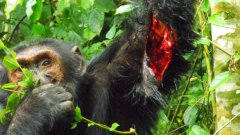Шимпанзета убиват съперниците си, за да спечелят тяхната земя - според някои учени този епизод е първото солидно доказателство за човешко поведение