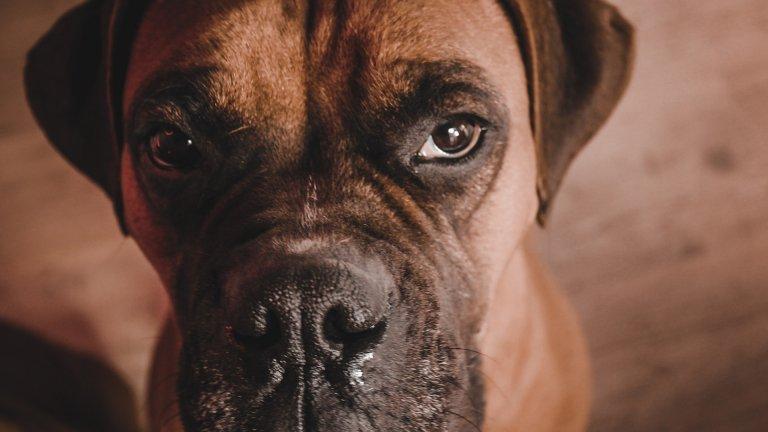 Боксер Боксерите са предани кучета, които силно се привързват към стопаните си. Те са игриви и жизнерадостни и обикновено са подходящ избор на куче за семейство с малки деца. Боксерите обаче изискват внимателно възпитаване и трениране, защото ако не са добре социализирани, могат да станат агресивни или отмъстителни към къщата. Любимо одеяло? Нови обувки? Имайте едно наум.