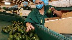 Индустрията с авокадо в Мексико се развива с космически размери, което привлича нежелано внимание и засилва насилието спрямо производителите и техните работници