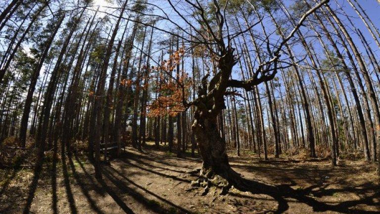 Вековното широколистно дърво е една от атракциите край Белинташ.