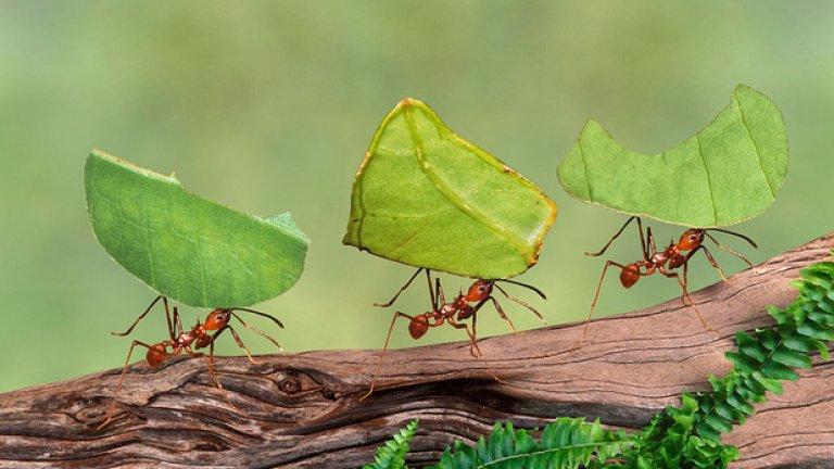"""Мравки Те може да са миниатюрни, но не се опитвайте да бъдете много самоуверени, когато се натъкнете на """"армия"""" от мравки. Нужни са хиляди, но всяка година те убиват повече хора от акулите."""