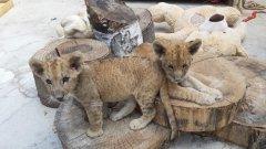 Британската медия The Independent описва картината със зоологическите градини като почти равносилна на бедствие. А това са Симба и Косара, които са дадени като пресен пример за нехуманното отношение към животните