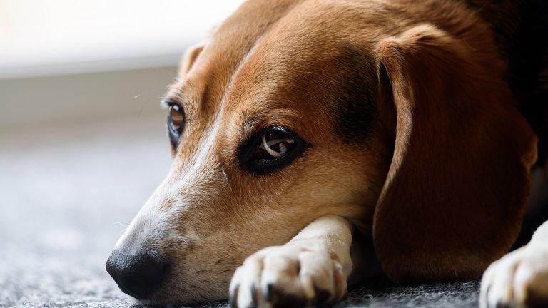 """Бигъл Според много изследвания бигълът е най-""""лошото"""", разбирайте палаво, куче. Онези, които познават бигъли, сигурно са забелязали, че това са решителни, енергични, жизнени и страстни животни, които винаги са готови да играят и да пакостят. Ако имате бебе бигъл, не го оставяйте без надзор или поне не на място, където може да направи щети, защото най-вероятно ще ги направи. Бигълите са любопитни и се отегчават лесно, което резултира в експериментиране с различни предмети от бита, а това може да ви лиши от тях."""
