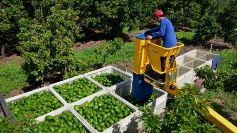 Производство на авокадо във Флорида, Калифорния