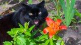Котки и лилиуми: очаквано опасна комбинация