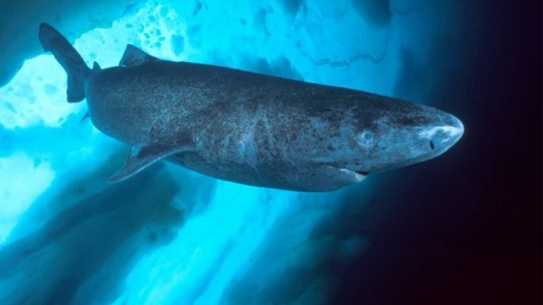 Екземпляр на женска полярна акула (Гренландска акула) е вероятно на 392 години, която я прави най-старото гръбначно животно на земята
