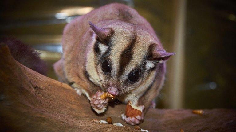Представяме ви някои диви животни, които постепенно са се превърнали в необичайни домашни любимци:  Захарна катерица  Цялото име на това сладурче е захарна торбеста летяща катерица. Те не са гризачи, както човек би допуснал. Тези катерици са торбести животни, които се срещат в Австралия, Тасмания, Нова Гвинея и на Молукските острови. През последните години, особено в САЩ, се превръщат в предпочитани домашни любимци, тъй като са малки, атрактивно изглеждащи, не миришат и рядко се нуждаят от къпане.