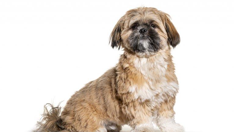 Ши-тцу Ши-тцу е куче, което те предизвиква да го мачкаш и милваш до припадане. Тази чаровна муцуна и тази копринена козина... нооо.... ноооо... имайте предвид, че това са своенравни кучета с мнение и опак характер, които трябва да бъдат обучавани и дресирани от бебешка възраст. В противен случай може да се окаже, че инатът на кучето надделява сериозно над вашето разбиране за ред в къщата и може да се окажете с домашен любимец, способен да разруши дома и нервите ви.