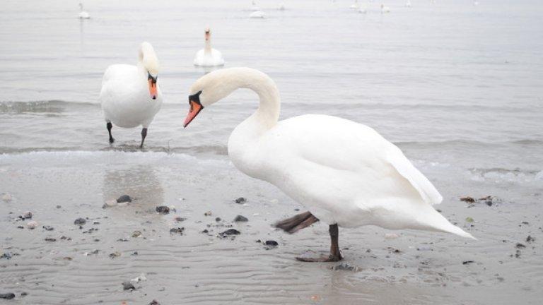 По брега на Балтийско море крачат лебеди - едри, охранени, нахални