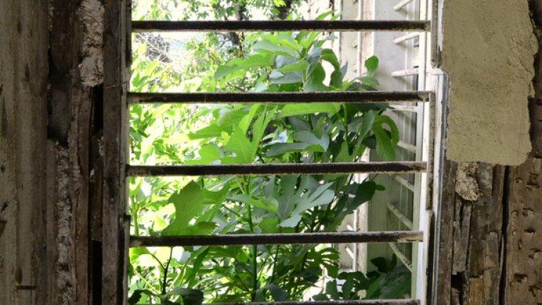 Смокиново дръвче наднича през металните решетки на стария прозорец.