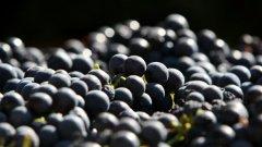 Обелката на гроздето също така притежава някои хранителни вещества, които тялото може да превърне в анти-ракови агенти