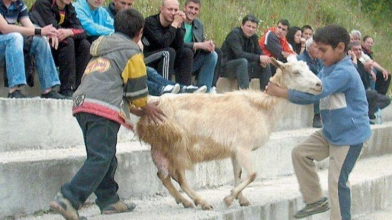 Изкарай козите, да влизат футболистите  Селските терени далеч не са предназначени само за футбол. На тях се играе най-много веднъж седмично. Колко се тренира е отделен въпрос. Но през останалото време игрищата служат за пасища на едрия и дребния рогат добитък на местното население. Така де, защо да плащаме за косачка на терена, като си имаме естествени такива? Като дойде мачът, просто изкарват козите и влизат футболистите. Понякога обаче се случва така, че рогатите същества опитват да нахлуят в пасището си, докато се провежда футболна среща. Феновете на отбора Малеш от благоевградското село Микрево преди време видяха доста зор, докато изкарат от стадиона брадатата нашественичка от кози произход.