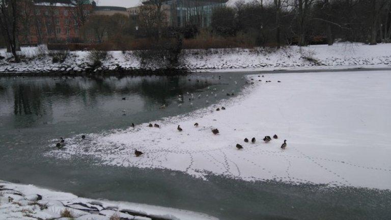 Шведското гостоприемство не опира само до туристите и мигрантите - в Малмьо се стремят дори на птиците да им е удобно, затова отоплят водата в каналите, така че патиците да не умрат от студ през зимата