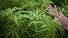 Вече 59 ферми имат разрешително за отглеждане на марихуана