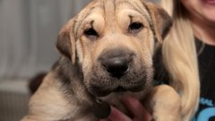 Започнете да се грижите за оралната хигиена на кучето още докато е бебе. Така то ще свикне с процедурите по чистене на зъбите и няма да ви прави проблеми като порасне.