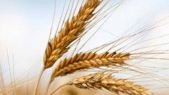 Пътят към върха в пет крачки, безупречна мелодия от пет такта. Пшеница...