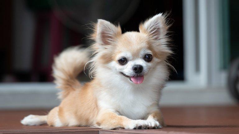 ЧихуахуаТези кученца може и да отнасят известна доза подигравки, но всъщност са чудесна компания у дома и заради размера си нямат проблем да живеят и в по-малки апартаменти. Обикновено не са много активни и една разходка дневно с малко тичане им е напълно достатъчна, за да изразходят енергията си.