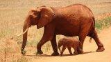 Ще остане ли светът без слонове