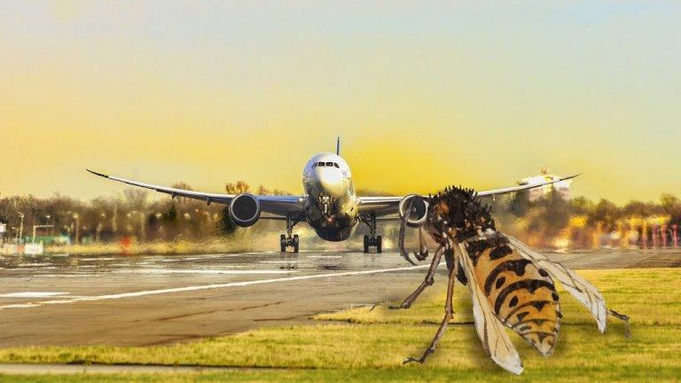 Осата се превръща в заплаха за безопасността на самолетите на летище Бризбейн