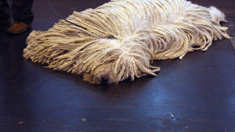 """Комондорът или т.нар. """"моп куче"""" или """"раста куче"""" или """"унгарска овчарка"""" е умно и уравновесено куче. Освен това, е добър пазач на стадата. Породата е била селектирана от маджарите още през далечния 9 век. Комондорът е едно от най-едрите кучета: те са високи повече от 70 см и тежат между 50 и 60 кг."""