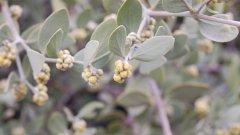 Маслото от жожоба се добива от ядките на храстовидното растение, което се среща предимно в пустинните райони на Южна и Северна Америка