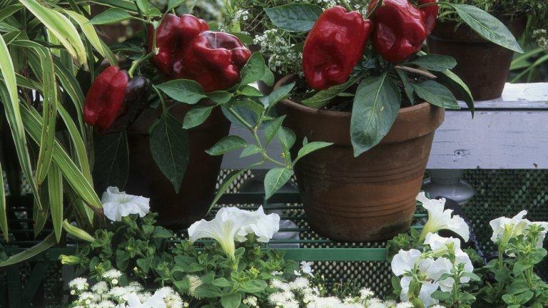 Финални щрихи   Колкото и да ви плаши подобно начинание, няма да сгрешите, ако изберете малки, лесни за гледане хибриди и разновидности на зеленчуците, които освен всичко растат и зреят бързо. В малки пространства трудно се отглеждат големи зеленчуци. Някои от честите грешки на младите градинари са да изберат прекалено малки саксии (за да спестят пространство) за иначе големи растения като домати и краставици. Минимумът за тези зеленчуци е 5 литра саксия, но най-добре вземете - 10-литрова.  Наторявайте само според указанията на опаковаката на тора и помнете, че няма универсално наторяващо за всички растения. А подправките например нямат нужда от тор. Избирайте правилно и почвата - градинската не е подходяща за балкона ви, затова си изберете подхранена с нужните елементи специална почва за балконски зеленчуци.    И ако искате чушки - не слагайте люти и сладки сортове едни до други - може да се окаже, че всичките са люти.