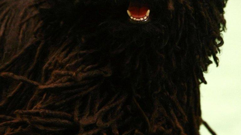 """Пули е унгарска порода и ако се чудите каква е разликата между пули и комондор, тя е единствено в цвета. В началото пулитата са били ползвани като овчарски кучета, но впоследствие започват да работят и като ловци. Пулито е """"непромокаемо"""": козината му има специално покритие, което не пропуска вода."""