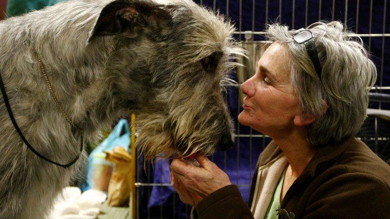 Ирландският вълкодав е най-високото и най-голямото куче в света. В същото време има изключително благороден, дори леко флегматичен характер. Ако имате желание да имате пазач за вкъщи, ирландският вълкодав е супер попадение, защото няма нужда да го обучавате за такъв: видът и големината му са достатъчни, за да накарат всеки зложелател да си плюе на петите. Теглото му може да стигне до 70 кг.