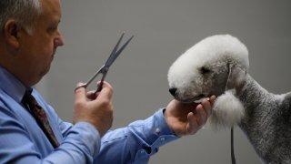 Това странно животно, което прилича на перуанска лама, всъщност е Бедлингтън териер. Въпреки приликата с кротки преживни животни обаче, този териер е доста активен и има завидно бързи реакции. В миналото, преди да го фризират и водят по изложби, е бил използван за изтребване на видри и лисици.