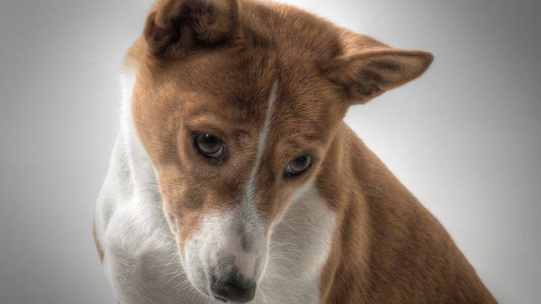 Басенджи Басенджи е още една порода кучета, която идва от Южна Африка. Те са били любимци на египетските фараони и са били на почит в Африка още от дълбока древност. Относно козината: тези кучета се мият подобно на котки. Те приличат на котки и по още нещо: обичат да тичат и играят навън, но приберат ли се вкъщи - предимно спят. Веднъж седмично разресване или избърсване с влажна кърпа на козината е достатъчна за грижа за палтенцата им. Имат силно развит ловен инстинкт, затова е добре да ги разхождате винаги на повод, ако не искате някоя улична котка да го отнесе. А, и още нещо. Кучетата басенджи не лаят, поне в традиционния смисъл на кучешки лай, но това не значи, че са тихи. Те сумтят, грухтят и издават най-различни звуци.