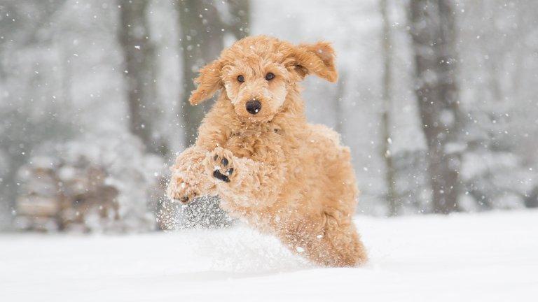 Мит номер 2: Ако са жадни, кучетата могат да ядат сняг  Всъщност, не е добре да позволявате на кучето си да яде сняг, защото никога не може да сте сигурни какво има под снега: боклуци, сол, химикали и други неща, които могат да разболеят любимеца ви. Освен това, яденето на сняг допълнително охлажда животното, което има нужда от вътрешната си топлина, за да се чувства добре навън, когато е студено.