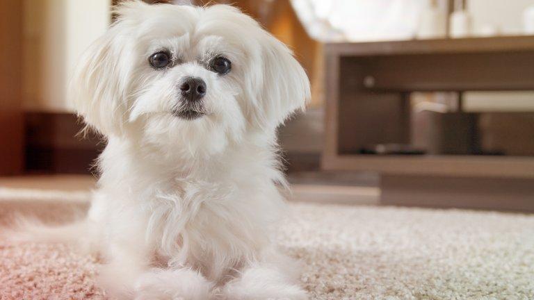 Малтийска болонкаЗа разлика от много други дребни кученца, малтийската болонка е тиха и спокойна порода, която предпочита да спи на удобното си кучешко легло, вместо да вдига шум и да прави поразии. Кучетата от породата са дружелюбни и мили, свикват лесно с дома и със собствениците си. Ако сте хоумофис, малтийската болонка ще е истински щастлива да е около вас по цял ден.