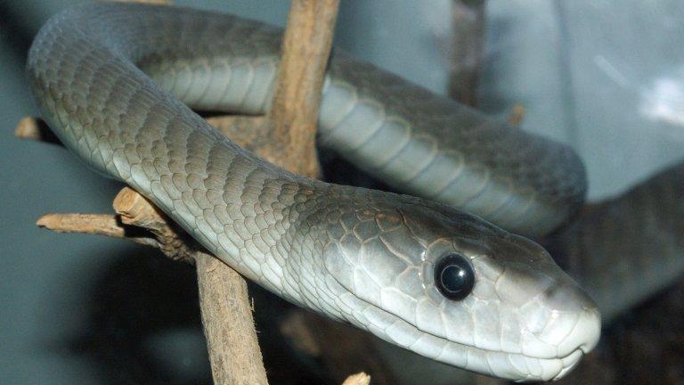 Черна мамба  Само няколко капки от отровата на най-опасната змия в Африка биха могли да убият за минути едър човек. Тя е най-голямата отровна змия на континента и втората по големина отровна змия в света. Името й произлиза от черния цвят на вътрешността на устата, като тя всъщност по принцип е кафеникава или сива.   Хората се страхуват от нея не само защото е изключително отровна, но и защото е много подвижна и също така голяма. На дължина може да достигне до 4,5 м и има възможност да се движи с 20 км/ч. Въпреки репутацията си обаче черната мамба не е агресивна и изключително рядко може да нападне човек.