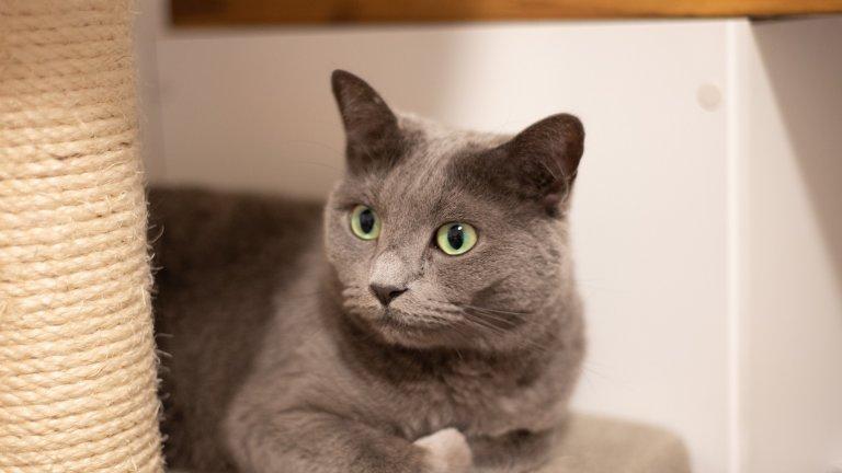 Руската синя котка е любвеобилна и мила, но по-скоро необщителна. Най-често ще я виждате в дома си усамотена на някое слънчево петно или покатерила се на най-високото възможно място да си почива и наблюдава. Породата е податлива на очни проблеми, но е дълголетна: живеят между 15 и 20 години.
